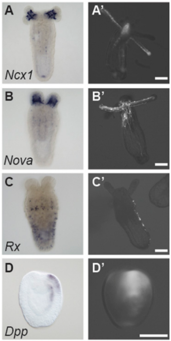 Predicted enhancers drive expression in a manner that recapitulates expression of nearby genes